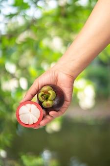 Manggistans op natuurlijke boerderij, vrouw met smakelijke organische rode heerlijke manggistans, gezond eten en dieet concept.