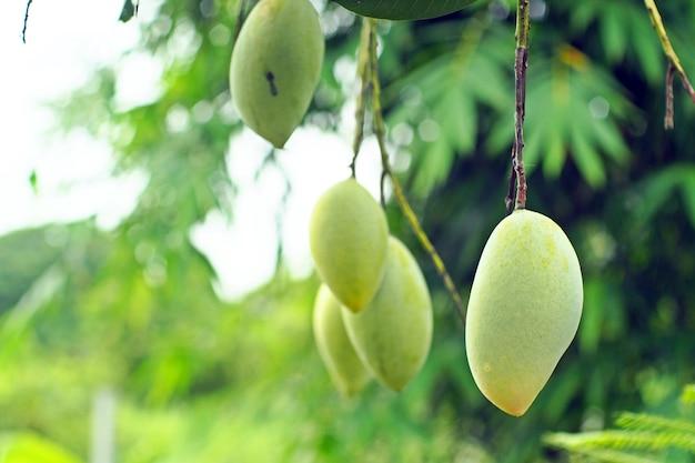 Mango's op de boom in de tuin.