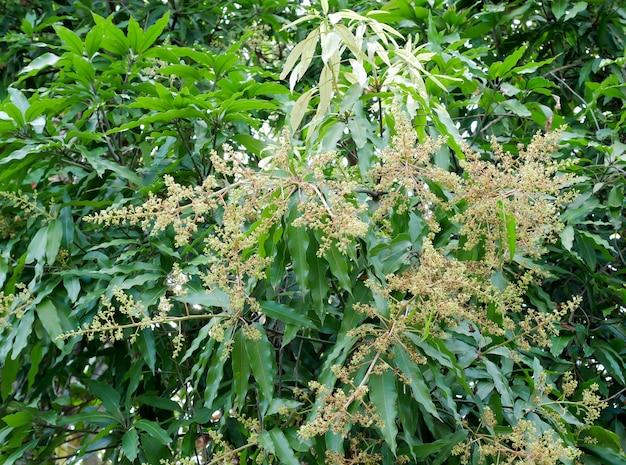 Mangobloemen op brach met groen blad
