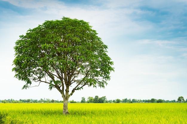 Mangoboom in rijstlandbouwbedrijf