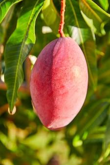Mangoboom met hangende mangovruchten