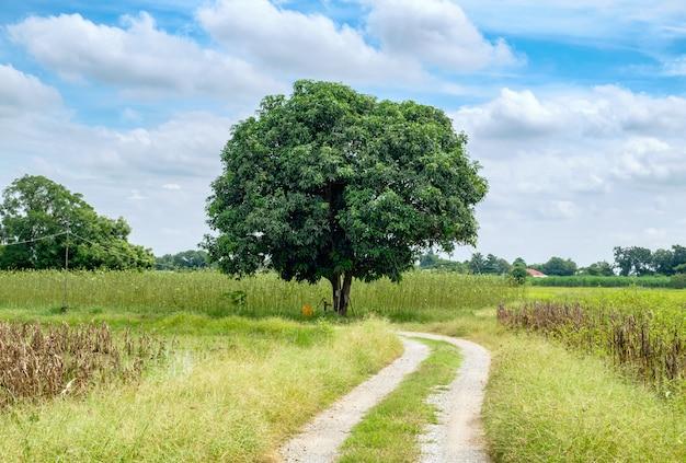 Mangoboom op manierkrommeweide en hemel