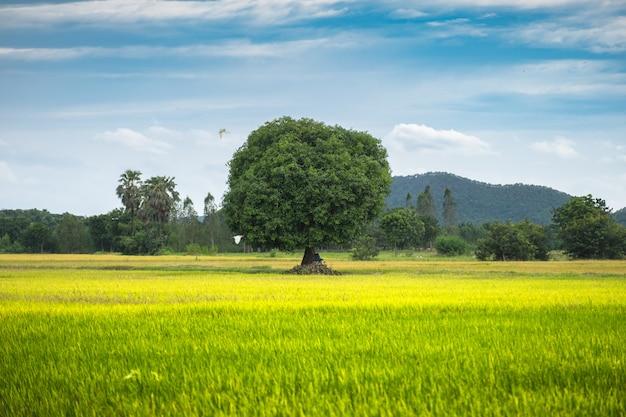 Mangoboom op padieveld met blauwe hemel