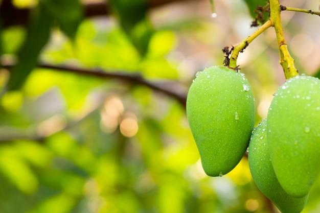 Mangofruit aan de boom. verse groene mango en kopieer ruimte.