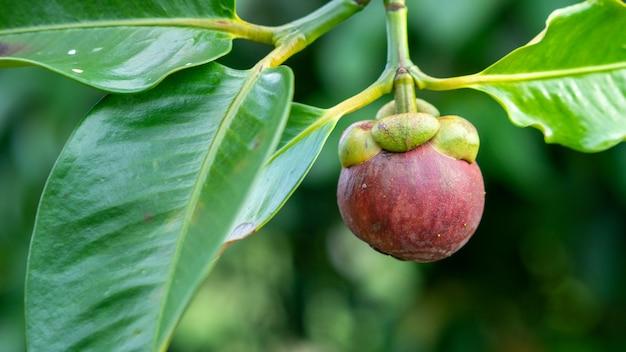 Mangostan is de fruitkoningin van thailand. klaar om te eten in het seizoen.