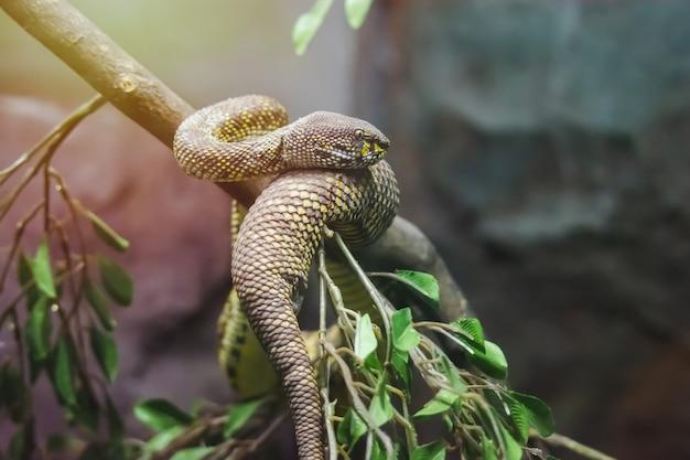 Mangrove pit viper giftige slang die een beetje leeft op een mangroveboom langs het kanaal