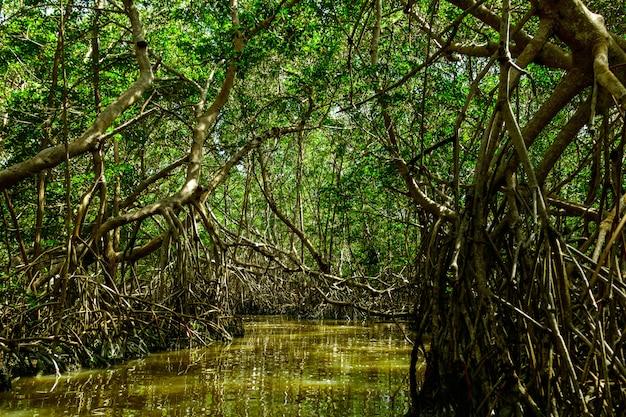 Mangrovebomen en rivier