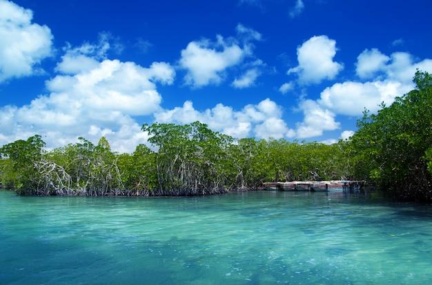 Mangrovebomen in caraïbische overzees
