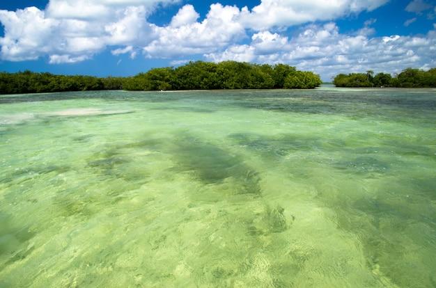 Mangrovebomen in de caribische zee