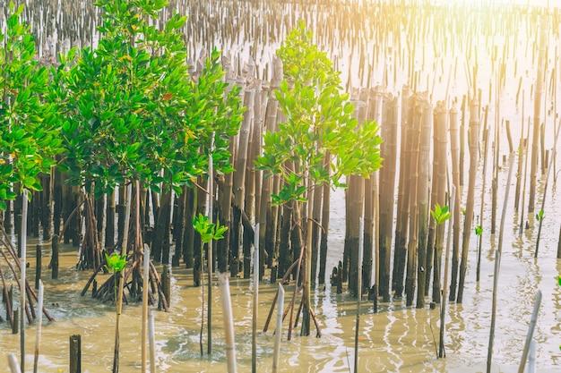 Mangrovebossen voor natuurzeedijk of kustbescherming in thailand