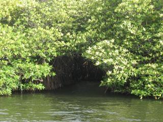 Mangroves, modderige