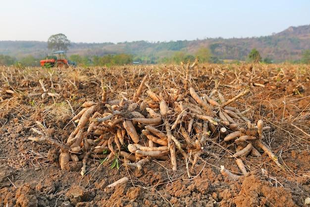 Maniokaanplanting en oogst in thailand