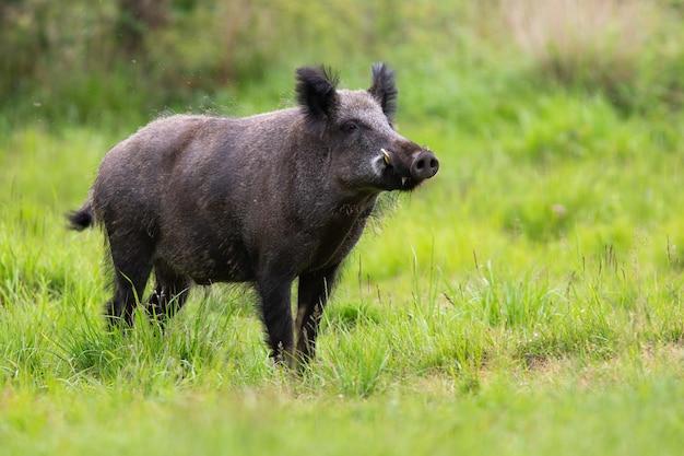 Mannelijk everzwijn die met snuit omhoog op open plek met groen gras in de zomeraard snuiven