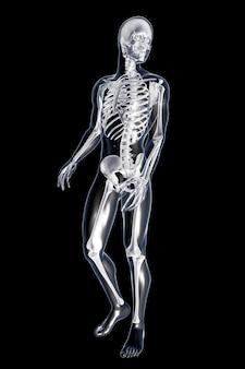 Mannelijke anatomie. 3d teruggegeven illustratie.