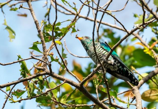 Mannelijke aziatische smaragdgroene koekoek die op de tak met prooi, thailand neerstrijkt