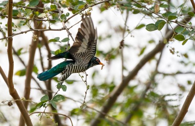 Mannelijke aziatische smaragdgroene koekoek vliegen