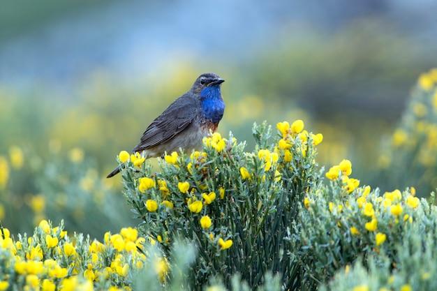 Mannelijke blauwborst in het broedseizoen met het eerste ochtendgloren op een rots op zijn grondgebied