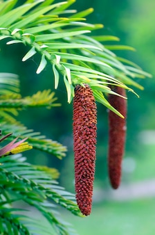 Mannelijke bloem van wollemia nobilis, inheemse boom van australië