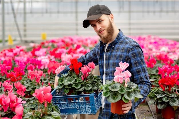Mannelijke bloemist met een doos met cyclaam in zijn handen. roze cyclaamplanten in potten. tuinieren en floristiek. werken met bloemen en planten