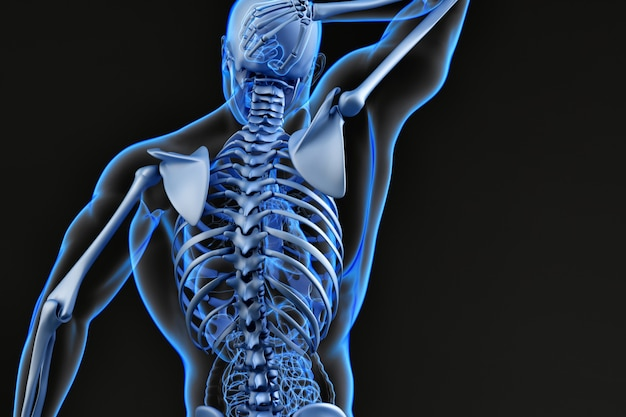 Mannelijke bovenrug en skeletstelsel. 3d illustratie