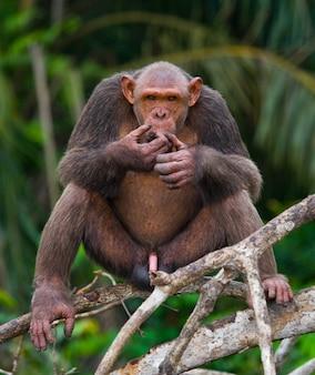 Mannelijke chimpansee op mangrovetakken