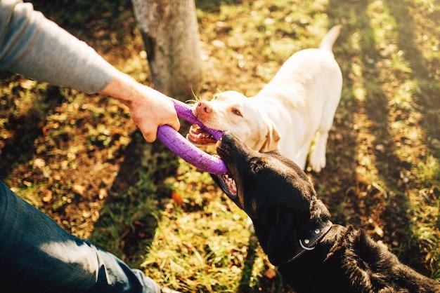 Mannelijke cynoloog werkt met militaire honden en traint buiten. eigenaar met zijn gehoorzame huisdieren buiten, bloedhond huisdier