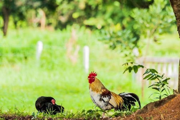Mannelijke en vrouwelijke kippen staan in de schaduw.