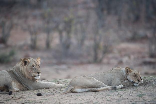 Mannelijke en vrouwelijke leeuw die op de grond rust