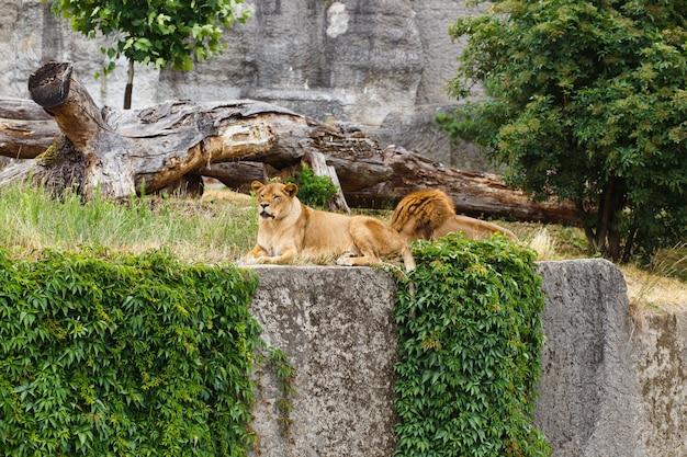 Mannelijke en vrouwelijke leeuw die samen leggen