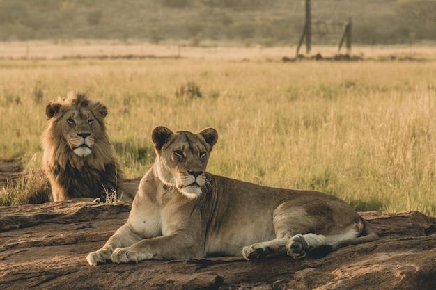 Mannelijke en vrouwelijke leeuwen die op het zand en het rusten leggen