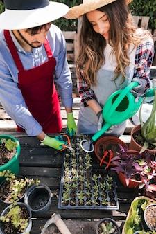 Mannelijke en vrouwelijke tuinman die de zaailingen in de krat water geven en in orde maken