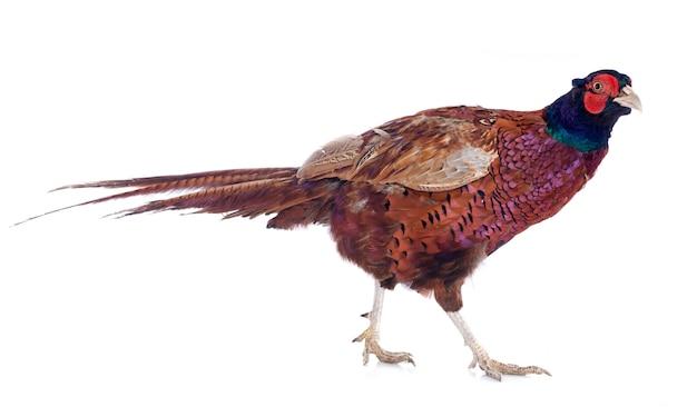 Mannelijke europese fazant