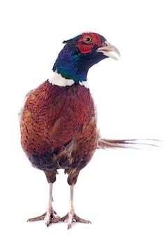 Mannelijke fazant
