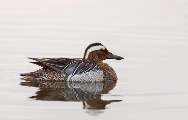 Mannelijke garganey duck (querquedula van ana) in water
