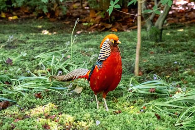 Mannelijke goudfazant vogel lopen op groen gras