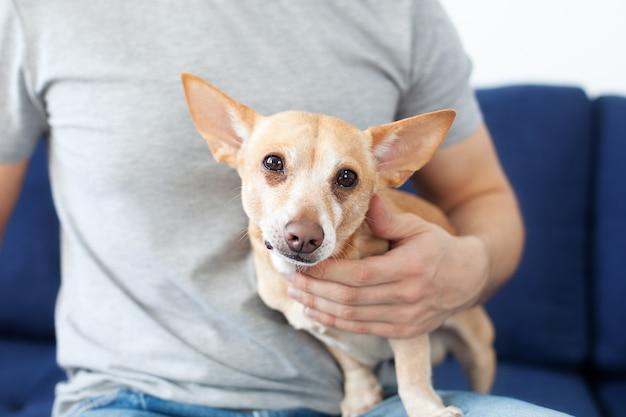 Mannelijke handen die een hond aaien. de eigenaar houdt van zijn hond. vriendschap tussen mens en hond. chihuahua in de handen van de eigenaar. inzicht in mens en hond, diergeneeskunde, dierenarts.