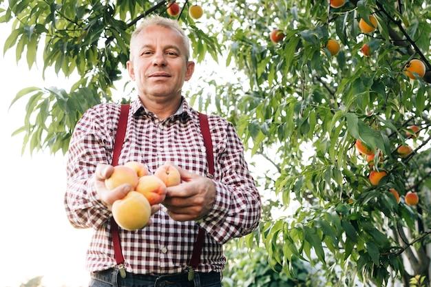 Mannelijke handen houden verschillende verse, mooie perzikvruchten in de handpalmen op een zonnige dag portret van een senior man
