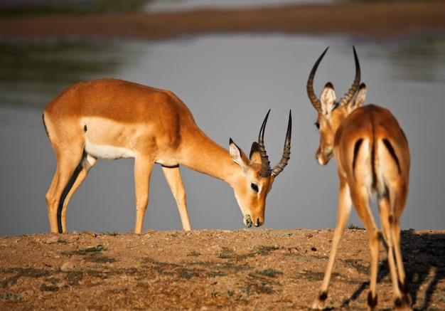 Mannelijke impala