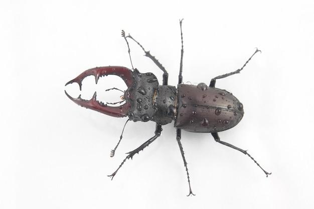 Mannelijke insecten kever herten met geweien op wit