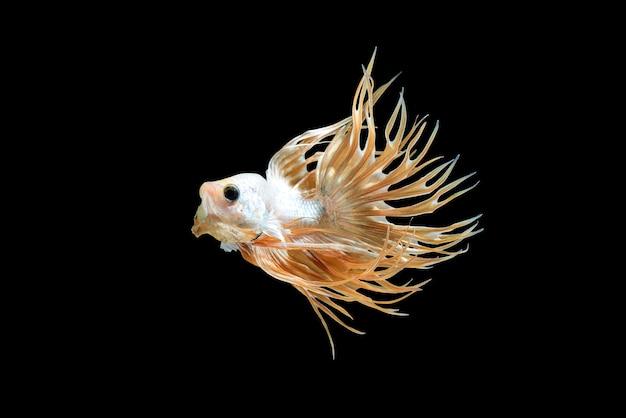 Mannelijke kroonstaart betta vis