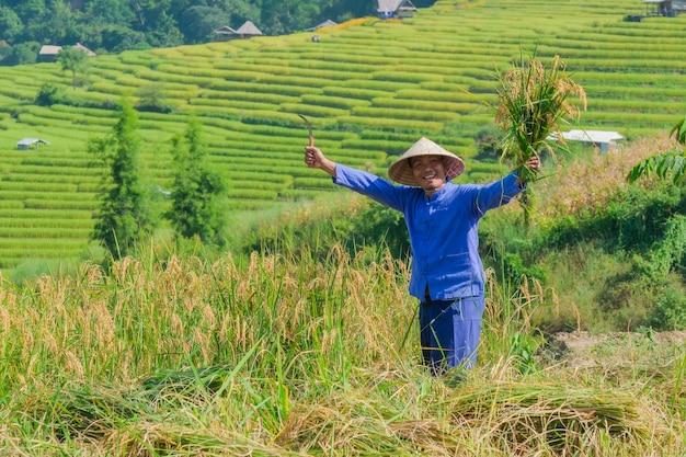 Mannelijke landbouwers die rijst in de bergen in padievelden in noordelijk thailand oogsten.