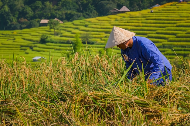 Mannelijke landbouwers die rijst in de bergen in padievelden oogsten in noordelijk thailand.