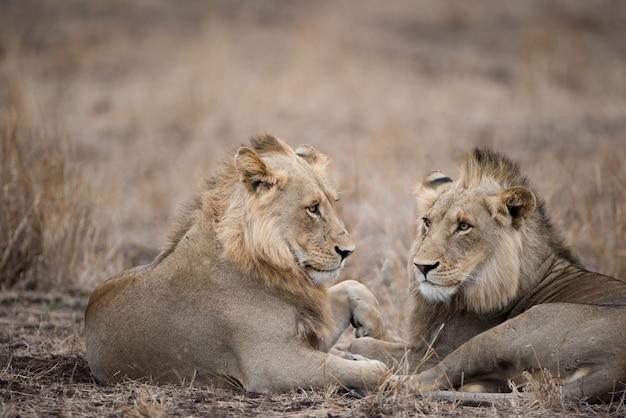 Mannelijke leeuwen die op de grond rusten