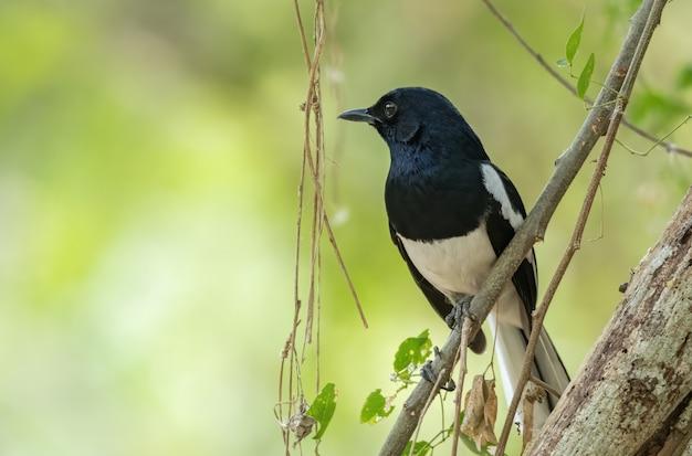 Mannelijke oosterse ekster-robin die op boomtak neerstrijkt