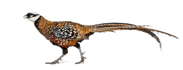 Mannelijke reeves's pheasant syrmaticus reevesii geïsoleerd
