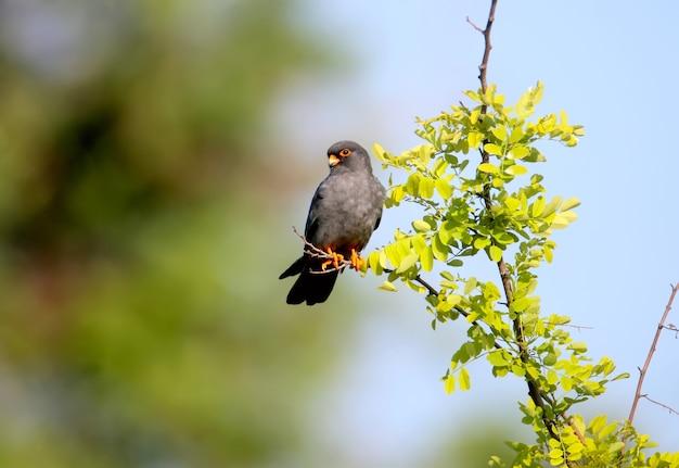 Mannelijke roodvoetvalk (falco vespertinus) zit op een tak.