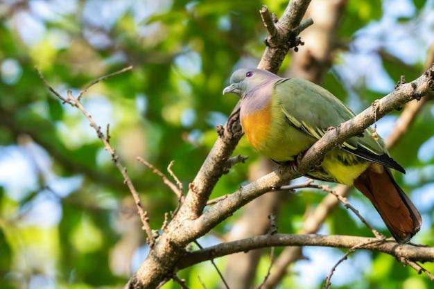 Mannelijke roze-hals groene duif die op de tak, thailand neerstrijkt
