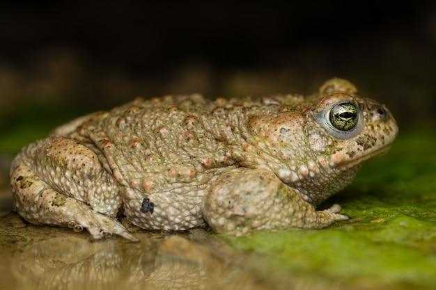 Mannelijke rugstreeppad (epidalea calamita)