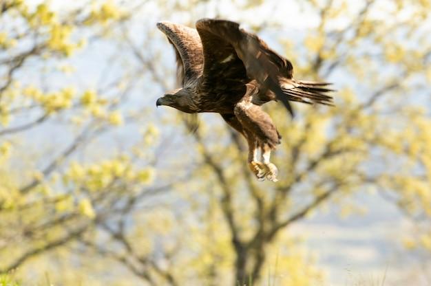 Mannelijke steenarend vliegt in een eikenbos bij het eerste daglicht