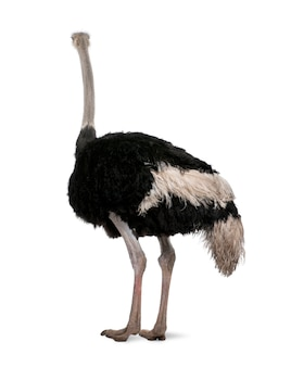 Mannelijke struisvogel, struthio-camelus die zich op een geïsoleerd wit bevindt